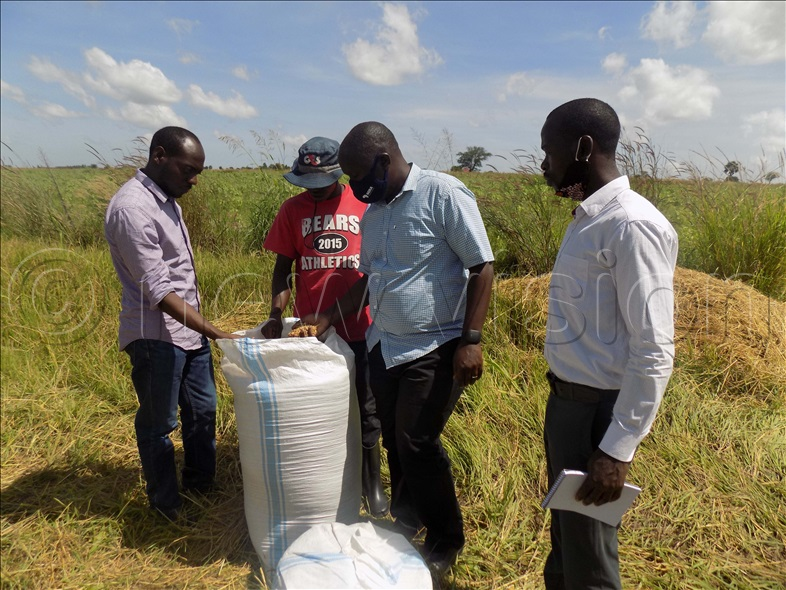 Henry Mawanda (L) from Kilimotrust and Dr John Jagwe from AGRA look at some of the rice being harvested on the farm.