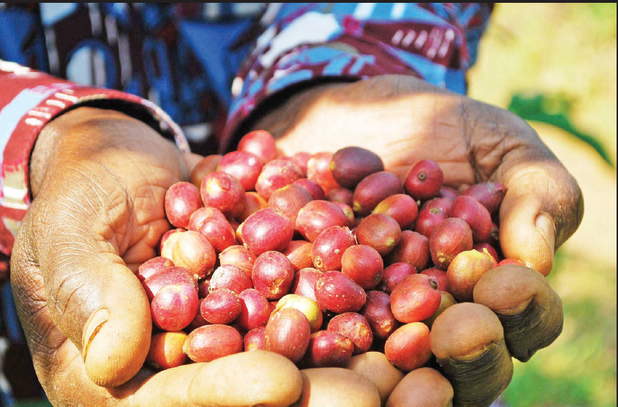 Coffee Production Increased From 5.7 Million 60kg Bags To Seven Million